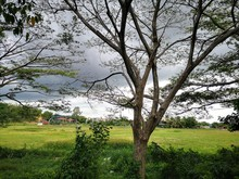 Single Tree In The Farm Garden...