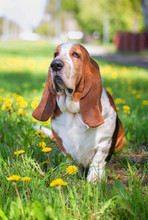 Basset Hound, Dog On The Background Of Summer Flowers And Green Grass For A Walk