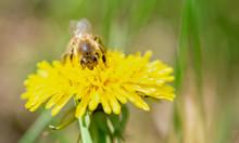 Honey Bee Pollinate Yellow Flower In The Spring Meadow. Seasonal Natural Scene.