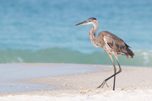 Great Blue Heron On A White Sandy Beach With Waves In The Background.