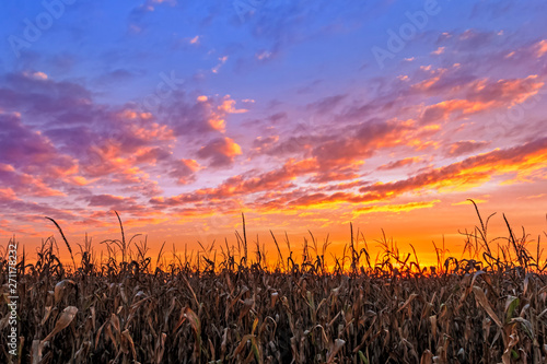Fototapeta Vibrant Autumn Harvest - Corn stalks are silhouetted by a beautiful, vibrant sunset in the American Midwest