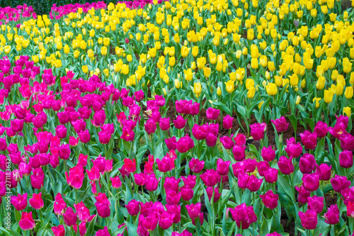 Poster Rose Colorful tulips in the flower garden. Yellow and Pink tulips in the flowers field.