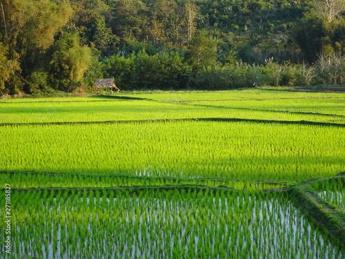 Papiers peints Vert chaux Champ de riz - Laos