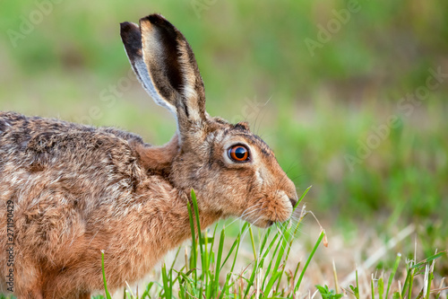Fotografia, Obraz Wild hare close up eating grass in UK