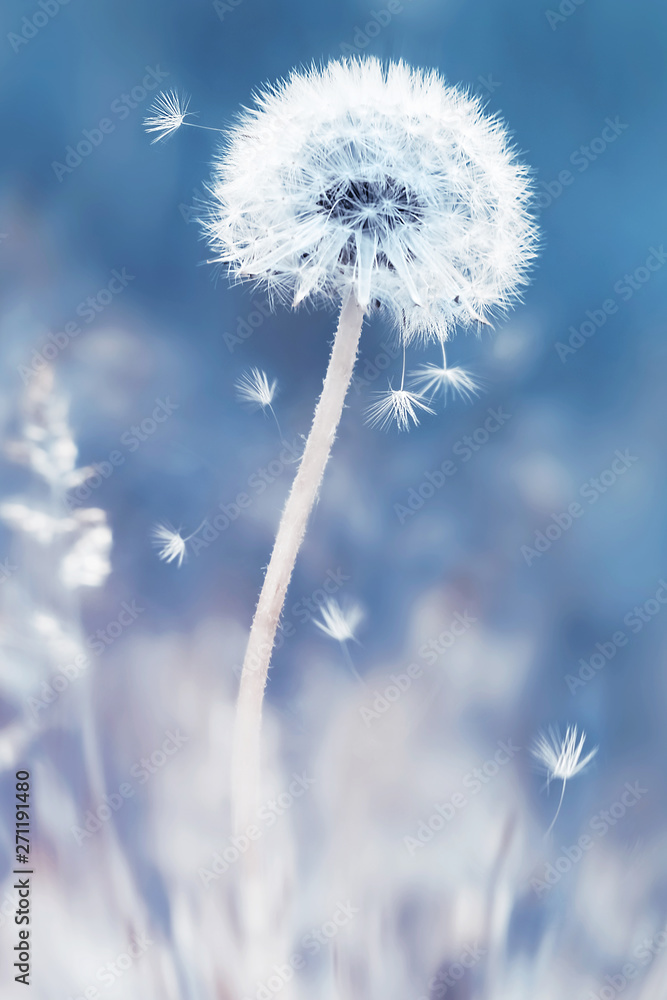 Fototapety, obrazy: Summer natural floral background. White dandelions and seeds on a blue and pink background. Soft focus.