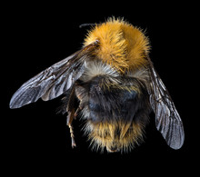 Large Bumblebee Top View Isola...