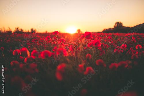 Amore in un campo di fiori papaveri rossi al tramonto.
