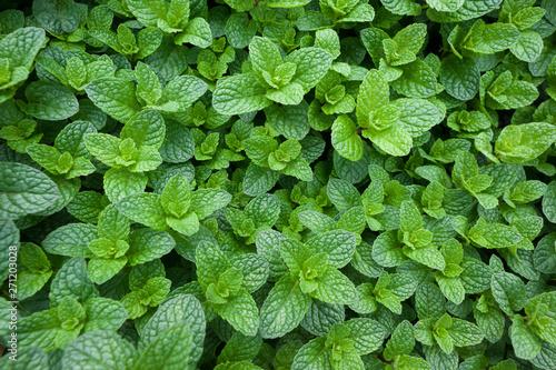 Obraz mint plant grow at vegetable garden - fototapety do salonu