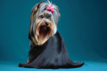 Portrait Yorkshire Terrier Lon...