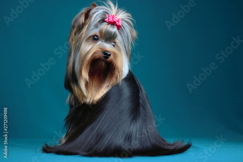 Fotomural Portrait yorkshire terrier long haired in grooming