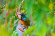 canvas print picture - Southern Double Collared Sunbird, Kirstenbosch Gardens, Cape Town, South Africa