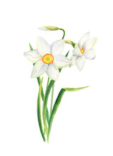 Watercolor Narcissus Flower. H...
