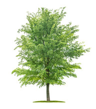 Isolated  Tree On A White Background - Ulmus - Elm