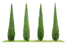 Four Isolated Cypresses On A W...