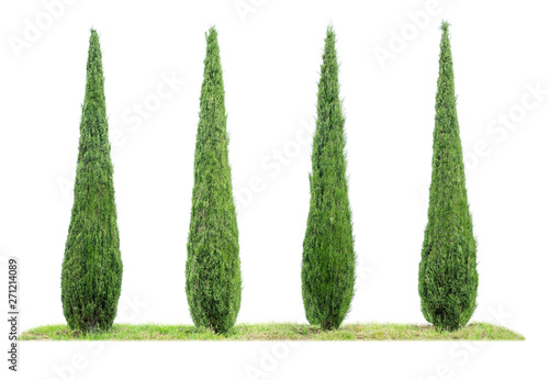 Four isolated cypresses on a white background Fototapet