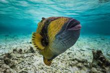 Titan Triggerfish, Maldives