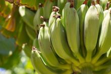 Wild Unripe Green Bananas, Hanging On Banana Tree