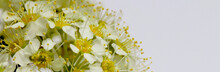 Bright White Flowers With Yellow Centers Close Up And A White Background, Place For Text, Wide View, High Contrast.