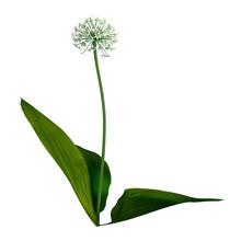3D Rendering Wild Garlic Plant...