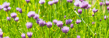 Field Of Blooming Chives Onion...