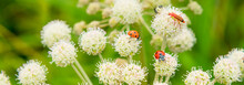 Beautiful Summer Panoramic Background, Banner With Ladybugs And Bugs On White Wildflowers. Summer Meadow With Flowers And Insects - Macro.