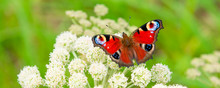 Beautiful Summer Panoramic Background, Banner With A Peacock Butterfly Eye On A White Wild Flower On A Meadow - Macro.