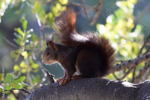 Ardilla en distintas posiciones, escalando un árbol, comiendo, observando, en un bosque de España, Europa Canvas Print