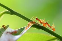 Small Ants (Oecophylla Smaragd...