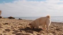 Funny Shiba Inu Puppy Digging ...