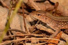 Saint Lucia Whiptail (Cnemidop...