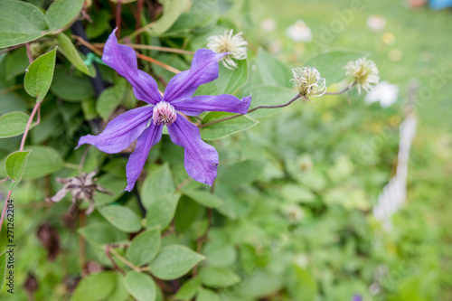 flowers of blossoming violet clematis with droplets of rain
