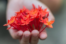 Depth Of Field Image Of A Child Hand Holding A Bouquet Of Red Flowers, Leaving Many Small Flowers In Her Hand.