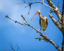 A Young White Ibis Out On A Limb!