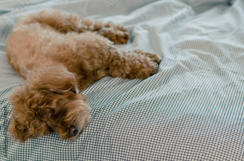 Photo An adorable young brown Poodle dog sleeping alone on the messy bed