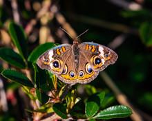 Common Buckeye Butterfly Along...