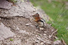 Chipmunk Eating Human Food That Had Been Fed To Him By Visitors