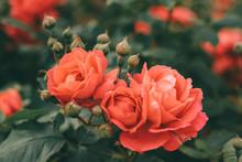 Beautiful Bush Of Tea Roses. S...