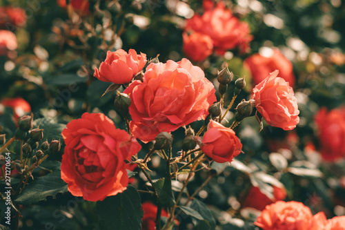 Beautiful bush of tea roses. Spring and summer flower.  Rose garden. Nature and botany theme. - 271270654
