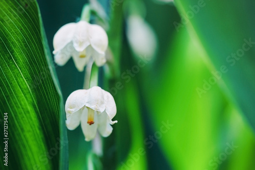 Muguet de mai Blossoming flowers of lily of the valley in early morning outdoors macro