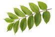 Green Ash branch