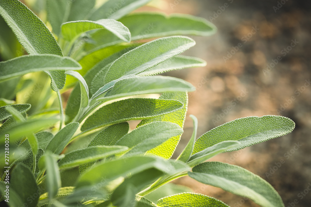 Fototapety, obrazy: Aromatic common sage leaves