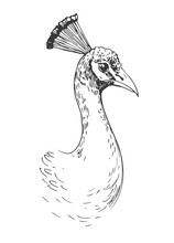 Sketch Of Peacock. Hand Drawn  Illustration Converted To Vector