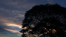 Silhouette Of A Large Tree With Evening Dramatic Sunset Sky.