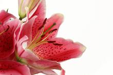 Fleur De Lys Rouge -