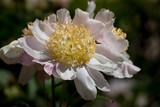 Peonia Flor