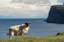 Isle Of Skye Schottland / Schafe