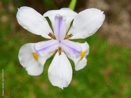 Photo WHITE AFRICAN IRIS