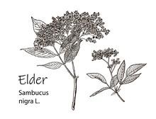 Elderflower Branch Isolated On...