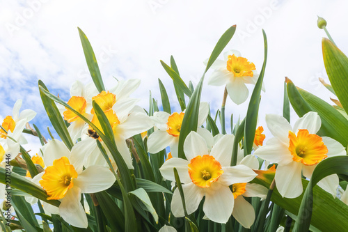 Papiers peints Narcisse Daffodils on the background of bright blue sky with light clouds. The concept of summer flowering, growing flowers, gardening. Image suitable for posters, postcards, photo pictures.
