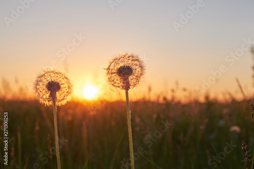 Two fluffy dandelion at sunset in the field